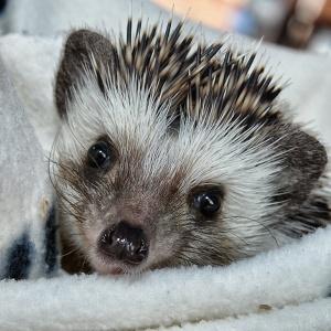 Adorable mini hedgehog